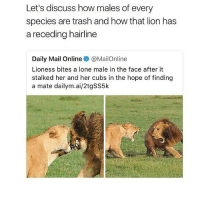Hairline, Meme, and Memes: Let's discuss how males of every  species are trash and how that lion has  a receding hairline  Daily Mail Online @MailOnline  Lioness bites a lone male in the face after it  stalked her and her cubs in the hope of finding  a mate dailym.ai/2tgSS5k (disregarding the trash comment🙄) receding hairline omfg [edit: y'all act like I created the post, lord😂 I don't support the first line, refer to the first part of this caption. it's a meme🤷🏻‍♀️)