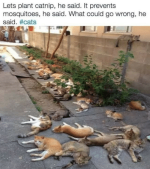 Cats, Catnip, and What: Lets plant catnip, he said. It prevents  mosquitoes, he said. What could go wrong, he  said.