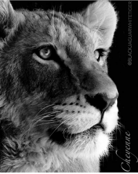 Memes, Black, and Tiger: level  @BLACK JAGUARWHITE TIGER La Cheyenne :) PureBeauty blackjaguarwhitetiger itsallforlove savelions itsallforlove @blackjaguarwhitetiger