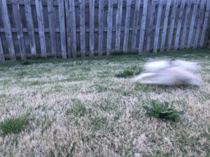 Levon loves zoomies after I discipline her to not eat her sisters' or brother's poop!: Levon loves zoomies after I discipline her to not eat her sisters' or brother's poop!