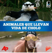 Cholo, Memes, and 🤖: LGDV  ANIMALES QUE LLEVAN  VIDA DE CHOLO  MEDIA Estos animales llevan un gangster dentro de ellos