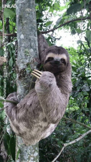 This majestic sloth was helped across the road and gave her rescuer the ultimate sign of gratitude! That face... ❤️: LI PEDRO RAIMUN This majestic sloth was helped across the road and gave her rescuer the ultimate sign of gratitude! That face... ❤️