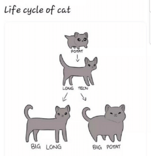 Life cycle of cat: Life cycle of cat  POTAT  LONG TEEN  BIG LONG  BIG POTAT Life cycle of cat