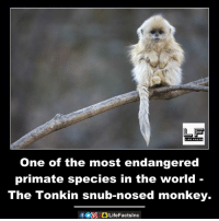 snubbed: LIFE FACTS  One of the most endangered  primate species in the world  The Tonkin snub-nosed monkey.