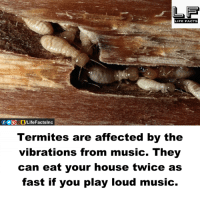 Memes, 🤖, and Play: LIFE FACTS  Termites are affected by the  vibrations from music. They  can eat your house twice as  fast if you play loud music.