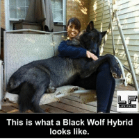 Facts, Life, and Memes: LIFE FACTS  This is what a Black Wolf Hybrid  looks like, Go checkout and follow @lifefactsinc for more interesting posts like this one!!!! 👀