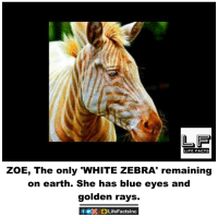 "zoes: LIFE FACTS  ZOE, The only ""WHITE ZEBRA' remaining  on earth. She has blue eyes and  golden rays."