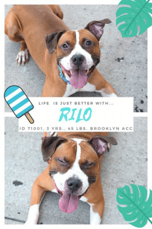 """Being Alone, Apparently, and Cats: LIFE IS JUST BETTER WITH.  RILO  ID 71001, 3 YRS., 45 LBs. BROOKLYN ACC TO BE KILLED – 8/13/2019  Rilo will be relisted in 8/11  He's got the biggest smile, the happiest heart, and boy does he love to show off his """"sit"""" and """"down"""" skills for yummy treats. RILO is the most adorable thing on four paws, and a total sweetheart to boot. With his four white socks, his lightbulb tail, and his one up/one down ear set, he has all of us smitten with his sweetness and charm. When you watch his video it's hard to believe that this wonderful boy was all alone in the world, wandering around someone's back yard. We will never know how he got there, but life has been about rolling with the punches for Rilo. Someone took him in for a week, and during his stay he was a model guest even though the person left him outside in the yard for the most part, alone and having to find things to amuse himself. We can't imagine how lonely Rilo has been till now, or how hard he has had to cope to just keep his optimism. It's understandable that this wonderful, gentle hearted boy is initially shy with new people, having never had the stability of a committed family, but once you have won his heart, it's yours forever. Don't overlook this amazing dog. RILO is a gem, eager to please, a master of basic commands, playful and full of fun (his favorite game is tug!) and yes --- let's just say it again – ADORABLE! Please hurry and Message our page or email us at MustLoveDogsNYC@gmail.com for assistance fostering or adopting him.  MY MOVIE! Rilo – BEYOND SWEET! https://youtu.be/c8dG817Uaao   RILO, ID# 71001, 3 Yrs. old, 45.6 lbs., Unaltered Male Brooklyn ACC, Medium Mixed Breed, Brown / White I came to the shelter as a STRAY, 7/21/2019 Shelter Assessment Rating: New Hope Rescue Only Medical Behavior Rating: 3. Yellow  AT RISK MEMO: Although he has shown some improvement and allows some slow handling, Rilo remains highly sensitive to handling in the care center and is war"""