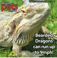 dragon: life with  magazine  Thanks to CatWard forthis greatphotoof Cooper  Bearded  Dragons  can run up  to 9mph!