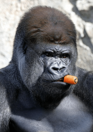 Like-A-Boss Gorilla With Carrot In Mouth Gets Photoshopped Into ...: Like-A-Boss Gorilla With Carrot In Mouth Gets Photoshopped Into ...