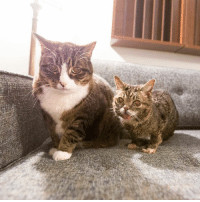Lil BUB (4 pounds) with her big bro Special Agent Dale Cooper (22 pounds).: Lil BUB (4 pounds) with her big bro Special Agent Dale Cooper (22 pounds).