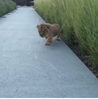 Lion, Mighty, and Hood: Lion cub napoleon shows off his mighty roar https://t.co/ILJGZ75hvh