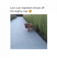OMG SO CUTE! follow @thatcommonwhitegirl if you liked this 👸🏼: Lion cub napoleon shows off  his mighty roar OMG SO CUTE! follow @thatcommonwhitegirl if you liked this 👸🏼