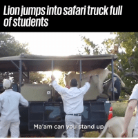 Dank, Safari, and 🤖: Lionjumps into safari truck full  of students  Ma'am can you stand up The most terrifying moment of their lives 😨🦁  Newsflare