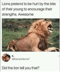 Memes, Lion, and Lions: Lions pretend to be hurt by the bite  of their young to encourage their  strengths. Awesome  K.  @KieranHarris7  Did the lion tell you that? Awesome via /r/memes https://ift.tt/2N8cd27