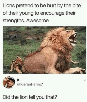 Lion, Lions, and Awesome: Lions pretend to be hurt by the bite  of their young to encourage their  strengths. Awesome  K.  @KieranHarris7  Did the lion tell you that? Awesome