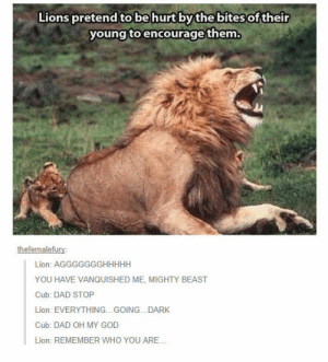 Dad, God, and Oh My God: Lions pretend to be hurt by thebites of their  young toencourage them.  thefemalefury  Lion: AGGGGGGGHHHHH  YOU HAVE VANQUISHED ME, MIGHTY BEAST  Cub: DAD STOP  Lion: EVERYTHING...GOING...DARK  Cub: DAD OH MY GOD  Lion: REMEMBER WHO YOU ARE.. epicjohndoe:  Lions Are Really Good Fathers