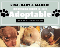 Unmmmmm available chihuahua puppies...   Love, MacChiHoarder: LISA, BART & MAGGIE  The chihuahua puppies in Tx are  Adoptable  APPLY AT MACSMISSION. ORG Unmmmmm available chihuahua puppies...   Love, MacChiHoarder