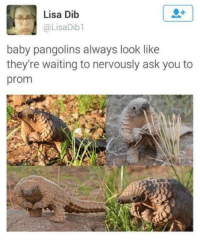 Waiting..., Baby, and Lisa: Lisa Dib  @LisaDib1  baby pangolins always look like  they're waiting to nervously ask you to  prom <p>Baby pangolins.</p>
