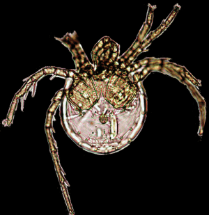 Litarachna Lopezae is a species of mite named after Jennifer Lopez for its voluminous bottom.: Litarachna Lopezae is a species of mite named after Jennifer Lopez for its voluminous bottom.