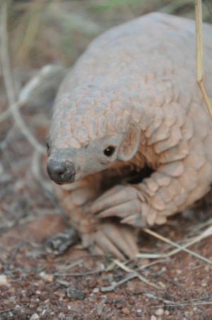 Little baby Pangolin wants attention too.: Little baby Pangolin wants attention too.