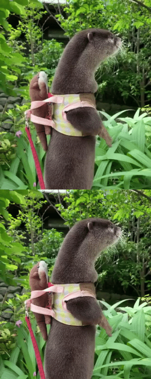 Little Otter with his toy stuffy to go (via): Little Otter with his toy stuffy to go (via)