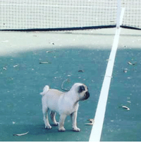Little Sheba the Hug Pug ready to play some tennis - US Open throwback circa 2004 😃❤️🐶 #pug #pugs #mop #mops #hugpug #hugpugs: Little Sheba the Hug Pug ready to play some tennis - US Open throwback circa 2004 😃❤️🐶 #pug #pugs #mop #mops #hugpug #hugpugs