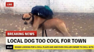 15+ Hilarious Dog Memes That Will Make Your Day So Much Better: LIVE  BREAKING NEWS  LOCAL DOG T00 COOL FOR TOWN  DOGGO LOOKING FOR A CHILL PLACE AND AND EVEN CHILLER OWNER TO CHILL WITH 15+ Hilarious Dog Memes That Will Make Your Day So Much Better