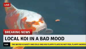 0 10: LIVE  BREAKING NEWS  LOCAL KOI IN A BAD MOOD  THE WATER IS NASTY AND COLD AND HIS FLAPPY FLAPS DO NOT FEEL FLAPPY INDEED  0:10