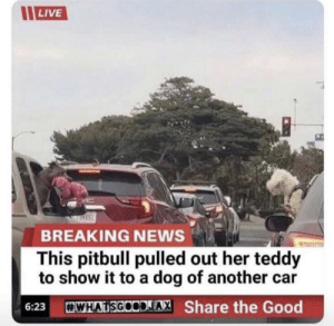Breaking News…: LIVE  BREAKING NEWS  This pitbull pulled out her teddy  to show it to a dog of another  WHATSGOODIAX Share the Good  6:23 Breaking News…