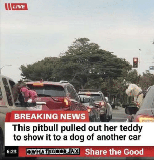 Me irl: LIVE  BREAKING NEWS  This pitbull pulled out her teddy  to show it to a dog of another car  WHADSGOODJA, Share the Good  6:23 Me irl