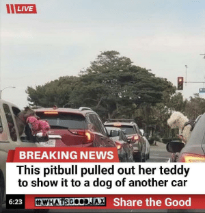 haileggs:  blessedimagesblog:  Blessed_News  AMAZING!!!! Amazing.: LIVE  BREAKING NEWS  This pitbull pulled out her teddy  to show it to a dog of another car  WHATSGOODJA, Share the Good  6:23 haileggs:  blessedimagesblog:  Blessed_News  AMAZING!!!! Amazing.