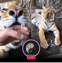 La Nic Nic Nic was so incredibly beautiful and super playful with her Papa @blackjaguarwhitetiger in this afternoons Instagram Live! Make sure your notifications are turned on so you don't miss my most favorite part of the day! blackjaguarwhitetiger itsallforlove LasComadresBJWT SaveTigers SaveOurPlanet: LIVE La Nic Nic Nic was so incredibly beautiful and super playful with her Papa @blackjaguarwhitetiger in this afternoons Instagram Live! Make sure your notifications are turned on so you don't miss my most favorite part of the day! blackjaguarwhitetiger itsallforlove LasComadresBJWT SaveTigers SaveOurPlanet