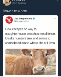 Dank Memes, Slaughterhouse, and Metal: @liz_buckley  I have a new herg.  The Independent  @Independent  Cow escapes on way to  slaughterhouse, smashes metal fence,  breaks human's arm, and swims to  uninhabited island where she still lives