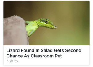 Life, Target, and Tumblr: Lizard Found In Salad Gets Second  Chance As Classroom Pet  huff.to whisperinggrass1:  this gives me hope for my life