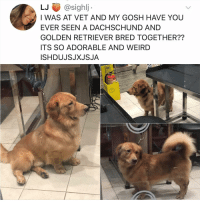 Fire, Memes, and Weird: LJ @sighlj  I WAS AT VET AND MY GOSH HAVE YOU  EVER SEEN A DACHSCHUND AND  GOLDEN RETRIEVER BRED TOGETHER??  ITS SO ADORABLE AND WEIRD  ISHDUJSJXJSJA  FIRE Post 1543: y the hELL havent u followed @kalesaladanimals yet