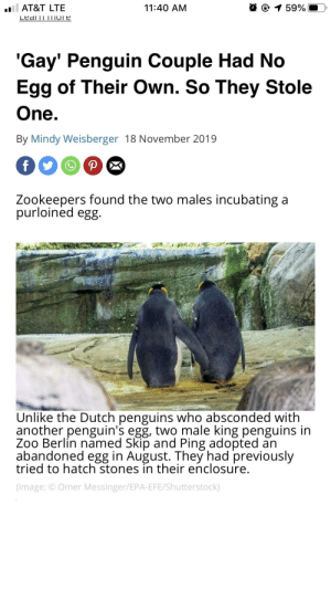 At&t, Image, and Penguin: ll AT&T LTE  59%  11:40 AM  Leam iIore  'Gay' Penguin Couple Had No  Egg of Their Own. So They Stole  One.  By Mindy Weisberger 18 November 2019  Zookeepers found the two males incubating a  purloined egg.  Unlike the Dutch penguins who absconded with  another penguin's egg, two male king penguins in  Zoo Berlin named Skip and Ping adopted an  abandoned egg in August. They had previously  tried to hatch stones in their enclosure.  (Image: © Omer Messinger/EPA-EFE/Shutterstock) me_irl