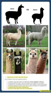 Omg the alpaca faces are so cute  - Rhonda the Duck: Llama  VS  Alpaca  weight over 400  weight 150  I Alpacas are so much cuter than llamas  YOU FORGOT THE FOLLOWING POINTS  LLAMAS HAVE BIG TEETH TO RIP OUT YOUR FRO&ING THROAT  ALPACAS HAVE FUZZY LIPS TO NUZZLE YOU GENTLY TO SLEEP  LLAMAS WILL CHARGE AFTERYOU IF THEY SMELL FOOD AND FEAR  ALPACAS AMBLE ALONG LIKE THE WORLD IS MADE OF GUMDROPS  LLAMAS ARE THE DEVILINCARNATE  ALPACAS ARE NOT THE DEVIL INCARNATE  THEMETAPICTURECOM Omg the alpaca faces are so cute  - Rhonda the Duck