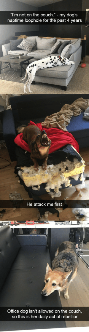"""babyanimalgifs: Dog snaps via @animalsnaps : """"l'm not on the couch."""" - my dog's  naptime loophole for the past 4 years   He attack me first   Office dog isn't allowed on the couch  so this is her daily act of rebellion babyanimalgifs: Dog snaps via @animalsnaps"""