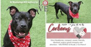 INTAKE DATE: 07-25-2019  NEUTERED & READY 2 GO! A staff member writes: Cerberus is a dog that only cares about 2 things. Having fun and enjoying the world. When out on walks Cerberus will stay close to you and continue to go on about his day, while occasionally stopping to carefully analyze his surroundings and satisfy his curiosity. Cerberus also has his playful moments where he wants to play with you in a yard playing fetch (or enjoying belly rubs) or laying by your side enjoying a good petting, and taking in the sun. He is extremely well balanced in energy, and very obedient as well. If this the ideal best friend for you, then look no further, Cerberus is for you!  CERBERUS@MANHATTAN ACC Cerberus ID# 70284  Sex: Male Age: 4 years old Length: Short Is Vaccinated: Yes Coat Type: Smooth Primary Color: Black Secondary Color: White Weight: 42.6 lbs. Intake Date: 07-25-2019 Shelter Assessment Rating: LEVEL 2 Medical Behavior Rating: Blue Spayed / Neutered: Yes  My health has been checked My vaccinations are up to date My worming is up to date I have been microchipped  Please take note of the Animal ID before contacting shelter   *** TO FOSTER OR ADOPT ***   If you would like to adopt a NYC ACC dog, and can get to the shelter in person to complete the adoption process, you can contact the shelter directly. We have provided the Brooklyn, Staten Island and Manhattan information below. Adoption hours at these facilities is Noon – 8:00 p.m. (6:30 on weekends)  If you CANNOT get to the shelter in person and you want to FOSTER OR ADOPT a NYC ACC Dog, you can PRIVATE MESSAGE our Must Love Dogs page for assistance. PLEASE NOTE: You MUST live in NY, NJ, PA, CT, RI, DE, MD, MA, NH, VT, ME or Northern VA. You will need to fill out applications with a New Hope Rescue Partner to foster or adopt a NYC ACC dog. Transport is available if you live within the prescribed range of states.  Shelter contact information: Phone number (212) 788-4000 Email adopt@nycacc.org  Shelter Addresses: B