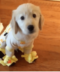 LOL!!!! This golden retriever pup has duck pyjamas and matching slippers! #SleepsGood #SoComfy #NeedMyBlankie: LOL!!!! This golden retriever pup has duck pyjamas and matching slippers! #SleepsGood #SoComfy #NeedMyBlankie