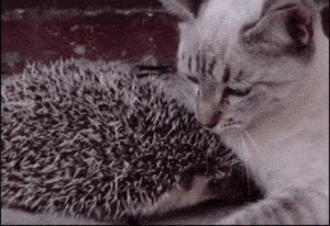 lolzandtrollz:Cat cuddles hedgehog. Sometimes, love hurts…: lolzandtrollz:Cat cuddles hedgehog. Sometimes, love hurts…