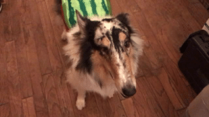 Target, Tumblr, and Blog: lonelymountainson: of-sights-and-snouts:  I got Barclay a new costume and he is not 100% on board with my humor.  Fuckin…MELON COLLIE ahhhggghhhh