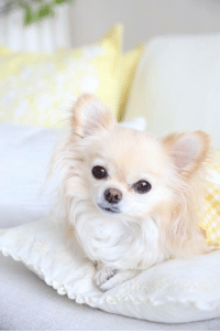 Long Haired Chihuahua Puppy <3: Long Haired Chihuahua Puppy <3