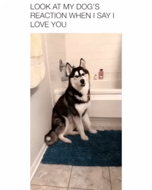 Animals, Cute, and Dogs: LOOK AT MY DOG'S  REACTION WHEN I SAY  LOVE YOU The type of love i want😊@brooklynjubenville #lovelyanimalsworld #animals #animallovers #dogs #doglovers #puppy #puppies #husky #love #cute #adorable
