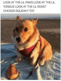Memes, Roast, and Chicken: LOOK AT THE LIL PAWS LOOK AT THE LIL  TONGUE LOOK AT THE LIL ROAST  CHICKEN SQUEAKY TOY