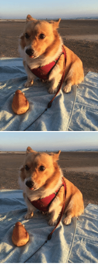 Roast, Chicken, and Girl Memes: LOOK AT THE LIL PAWS LOOK AT THE LIL TONGUE LOOK AT THE LIL ROAST CHICKEN SQUEAKY TOY https://t.co/Jwj25RHuXf https://t.co/IHihTtDNM2