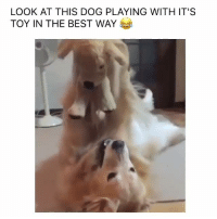 This dog is having so much fun haha   Via IG @LMAO: LOOK AT THIS DOG PLAYING WITH IT'S  TOY IN THE BEST WAY This dog is having so much fun haha   Via IG @LMAO