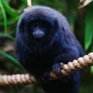 Look at this fluffy titi monkey!: Look at this fluffy titi monkey!