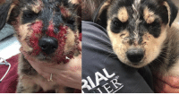 Memes, 🤖, and Rdr: Look at this incredible recovery. Benjie is still in around the clock care but just look at how incredible he is healing. Never in a million years would we have known just how quickly this nugget is progressing. My eyes are full of happy tears. Check out our full report here http://dogco.org/save-benjie-rdr  His care is a huge cost to RDR. Totally in the thousands. Knowing donations are low we have created this special campaign to help them raise the funds needed! Please, if you can, purchase a Benjie shirt, hoodie, bracelet or tote. With your help this innocent victim can get the second chance at life he deserves. Read more :http://dogco.org/save-benjie-rdr